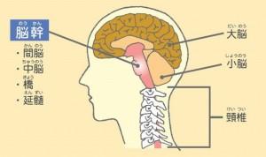 脳幹 小脳
